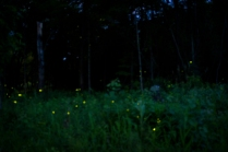 Fireflies, Essex NY
