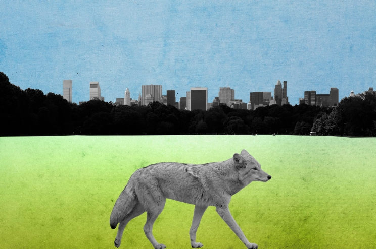 coyote_collage